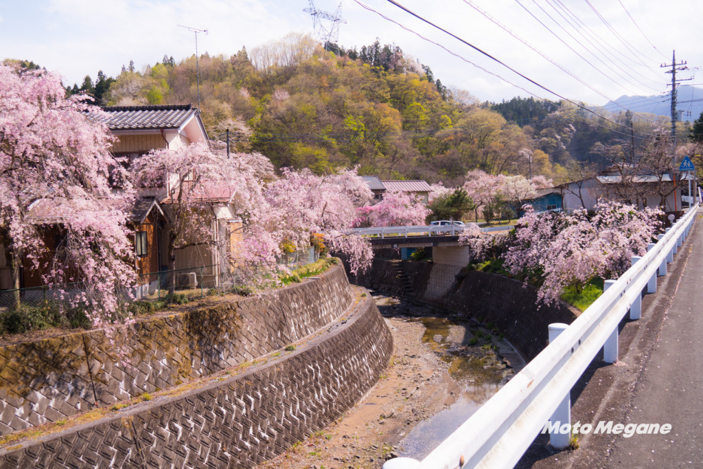 長留のしだれ桜は川の両脇に咲き乱れます